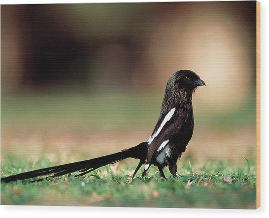 Magpie Shrike Wood Print