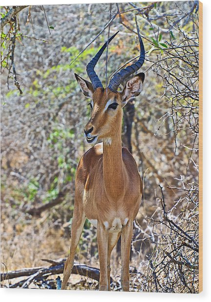 Male Impala In Kruger National Park-south Africa   Wood Print
