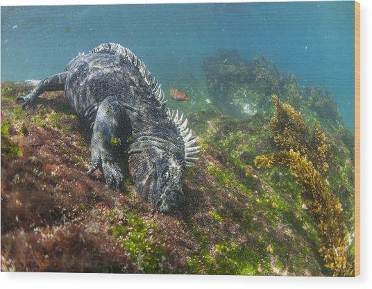 Marine Iguana Feeding On Algae Punta Wood Print
