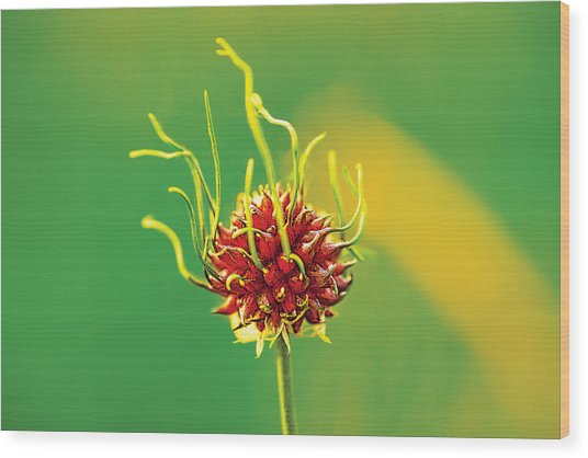 Medusapod Wood Print