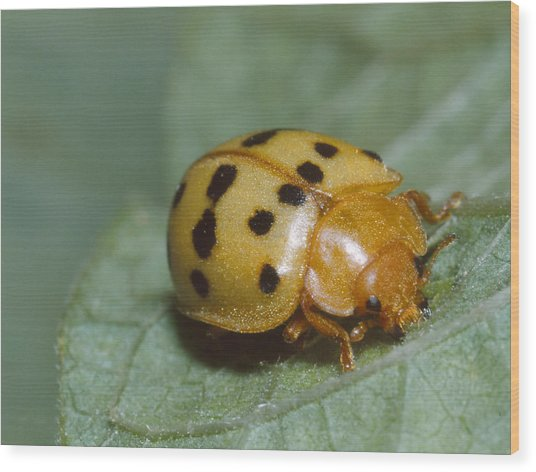 Mexican Bean Beetle Wood Print by Harry Rogers