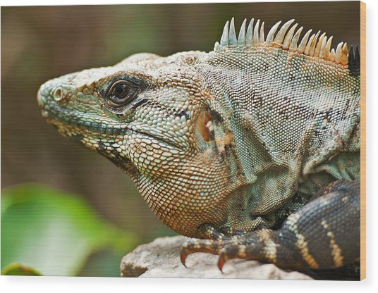 Mexican Iguana Wood Print by Paul Pascal