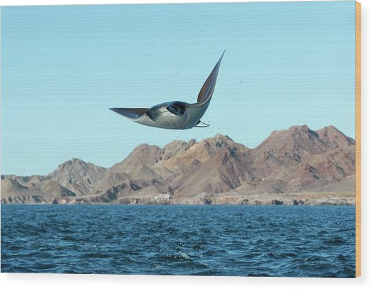 Mobuyla Ray Leaping Wood Print by Christopher Swann