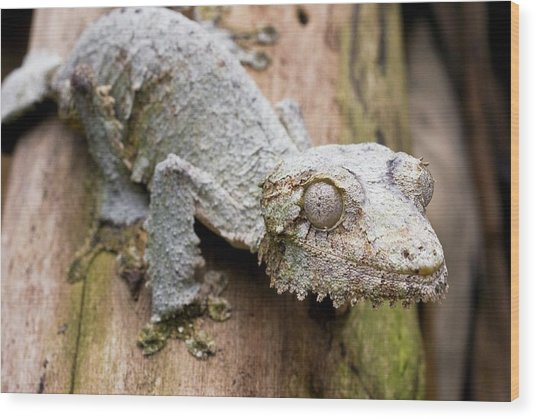 Mossy Leaftail Gecko On A Tree Wood Print