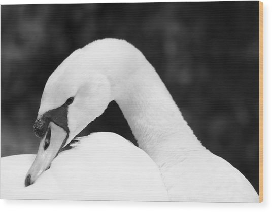 Mute Swan Black White Wood Print