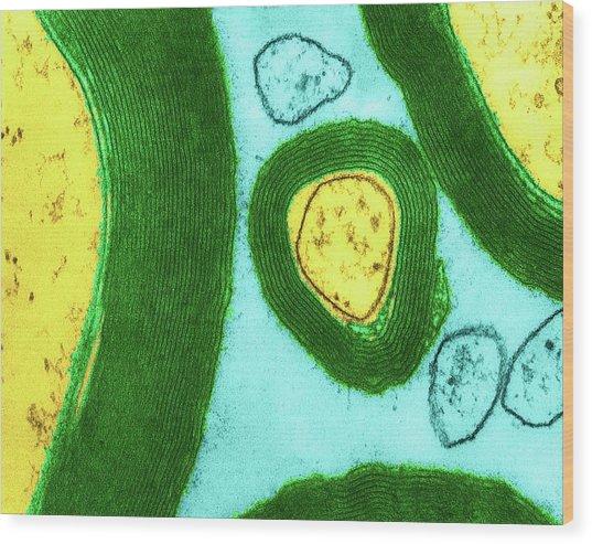 Myelin Sheaths Surrounding Axons Cns Wood Print