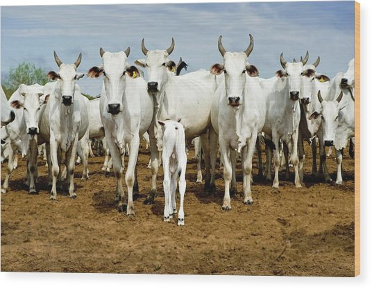 Nelore Cattle Wood Print by Tony Camacho/science Photo Library