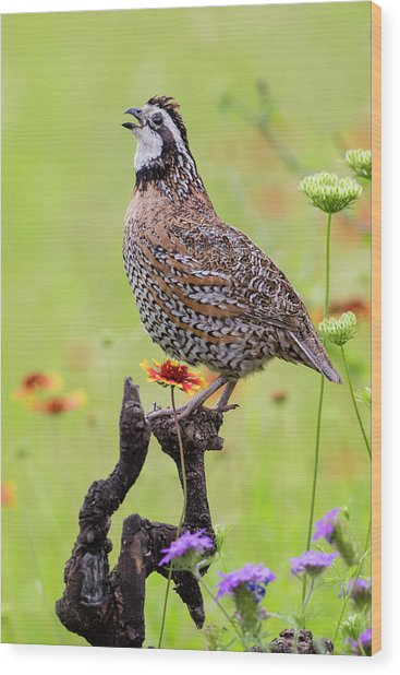 Northern Bobwhite, Colinus Virgianus Wood Print by Larry Ditto