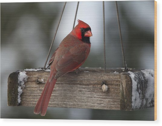 Northern Cardinal Wood Print by John Kunze