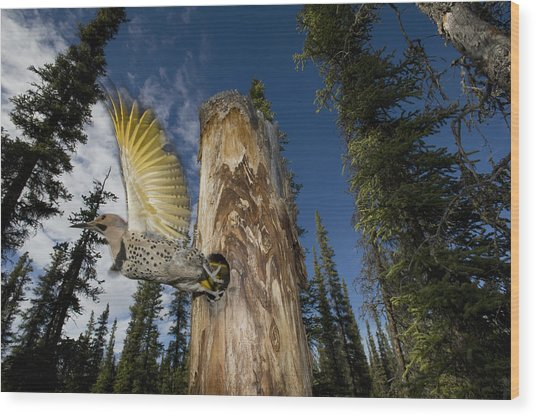 Northern Flicker Leaving Nest Cavity Wood Print