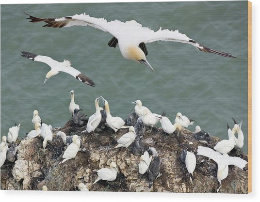 Northern Gannet Colony Wood Print by Steve Allen/science Photo Library