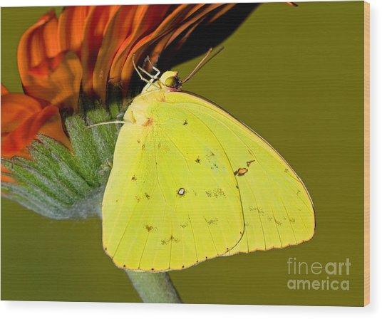 Orange Barred Sulfur Butterfly Wood Print