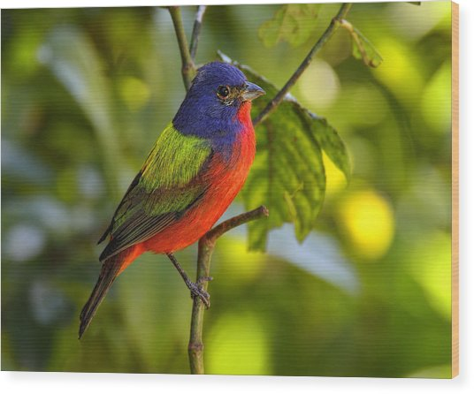 Painted Bunting Wood Print
