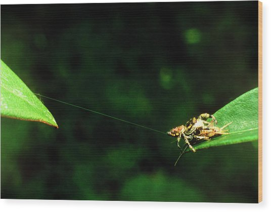 Panamanian Jumping Spider Eris Aurantia Wood Print by Martin Dohrn/science Photo Library