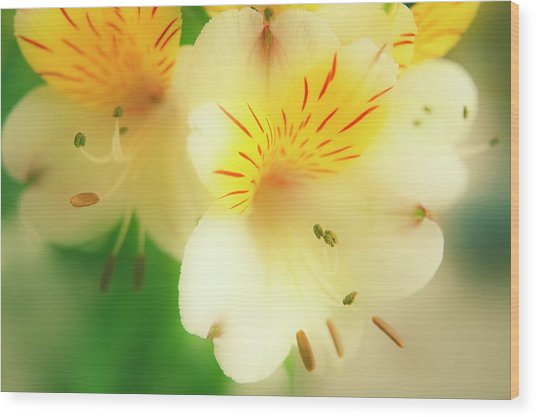 Peruvian Lily (alstroemeria Haemantha) Wood Print by Maria Mosolova/science Photo Library