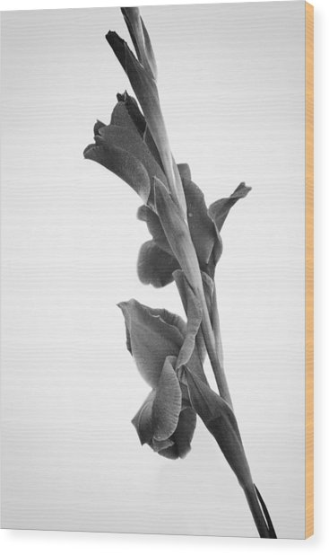 Pink Iris In Monochrome Wood Print