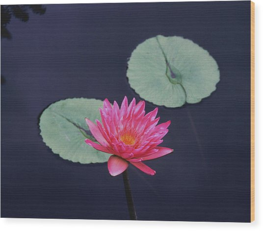 Pink Water Lily Two Pads Wood Print by Tom Wurl