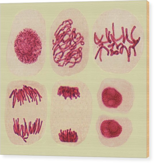 Plant Cell Mitosis Wood Print by Steve Gschmeissner