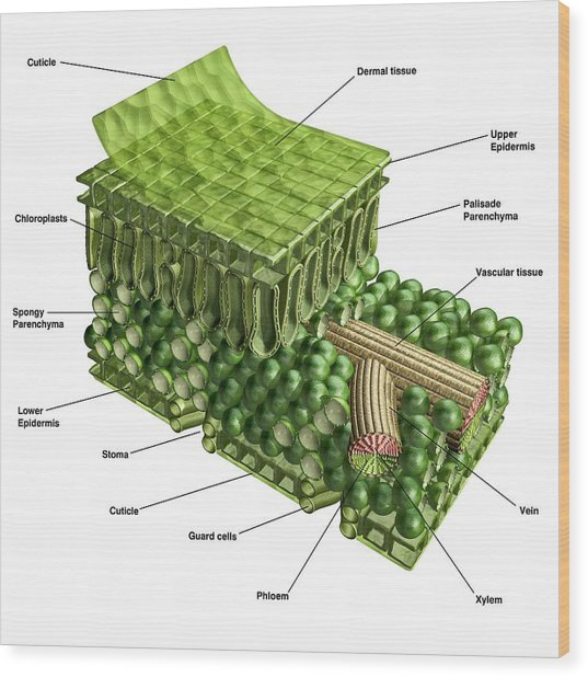 Plant Leaf Structure Wood Print by Carlos Clarivan