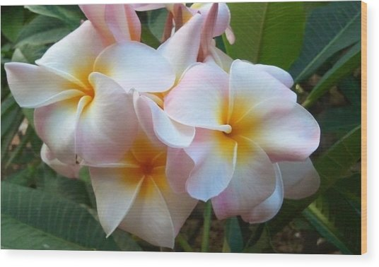 Plumeria Cluster Wood Print by Blondie Wagner