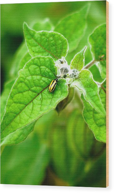 Poha Berry Beetle Wood Print