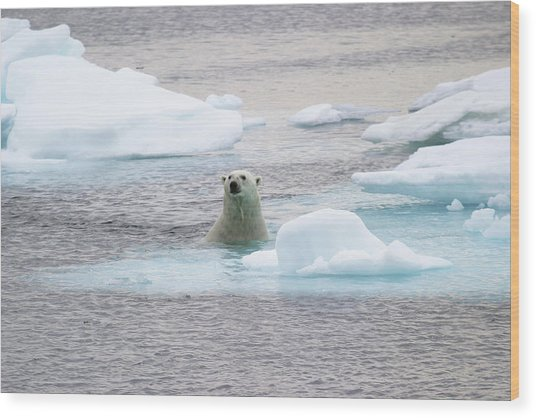 Polar Bear Wood Print by John Devries/science Photo Library