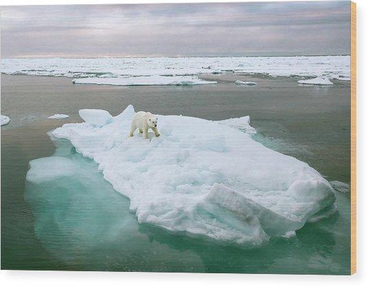 Polar Bear Standing On A Ice Floe Wood Print by Peter J. Raymond