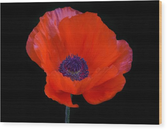Wood Print featuring the photograph Poppy  by Garvin Hunter