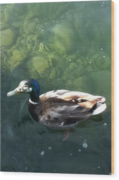 Pretty  Duck Wood Print by Deb Groesbeck