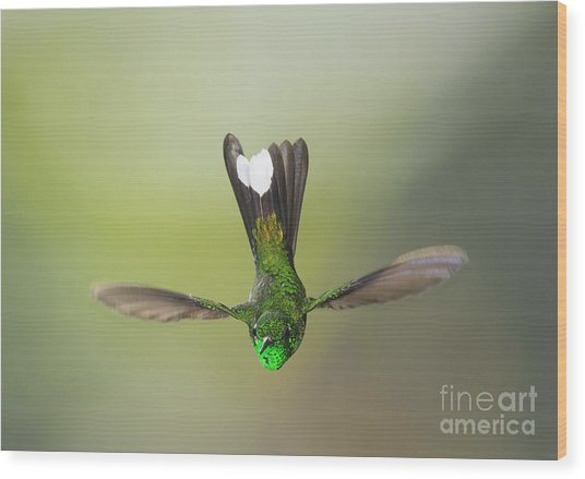 Purple-bibbed White-tip Hummingbird Wood Print