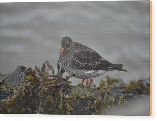 Purple Sandpiper Wood Print