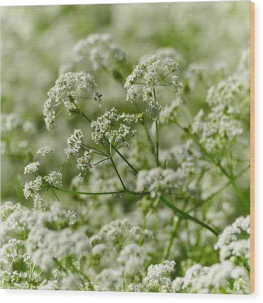 Queen Annes Lace Wood Print