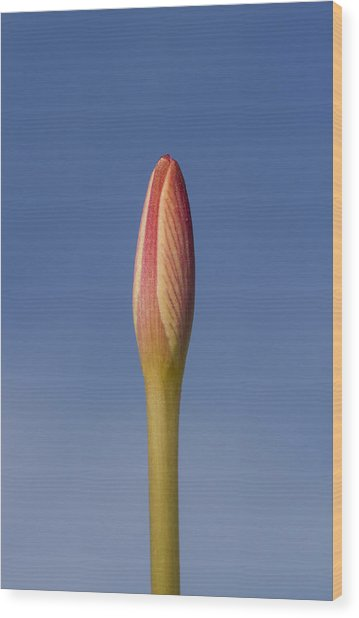 Rain-lily Bud Wood Print