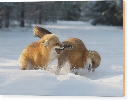 Red Foxes Interacting In Snow Wood Print by Dr P. Marazzi/science Photo Library