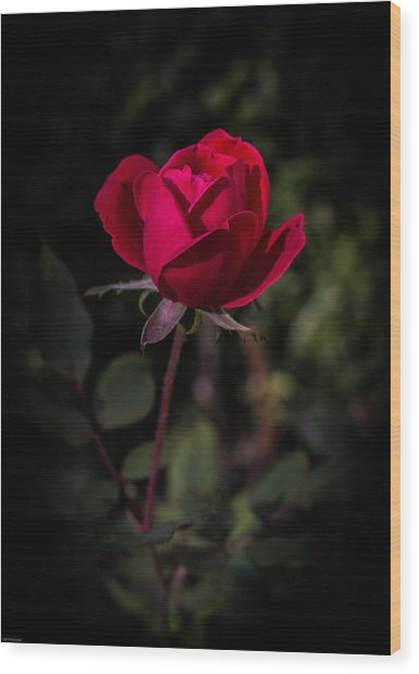 Red Rose Of Love Wood Print