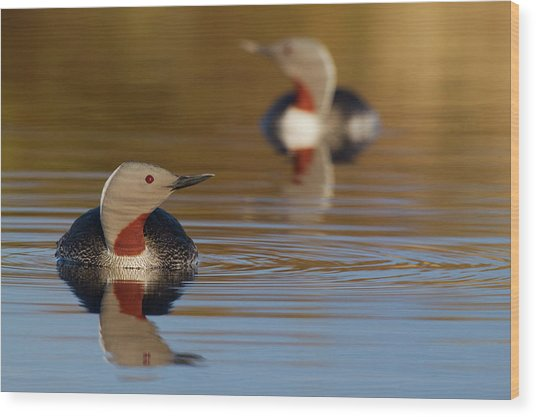 Red-throated Loon Pair Wood Print