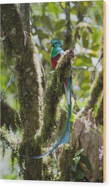 Resplendent Quetzal Male Costa Rica Wood Print