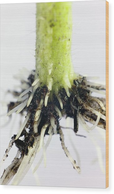 Root Formation By A Tomato Cutting Wood Print by Dr Jeremy Burgess