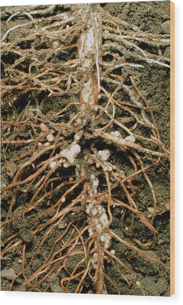 Root Nodules Of Broad Bean Wood Print by Dr Jeremy Burgess/science Photo Library