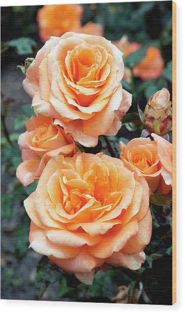 Rose (remy Martin) Wood Print by Brian Gadsby/science Photo Library