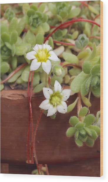 Rosularia Sedoides Var Alba Wood Print by Science Photo Library