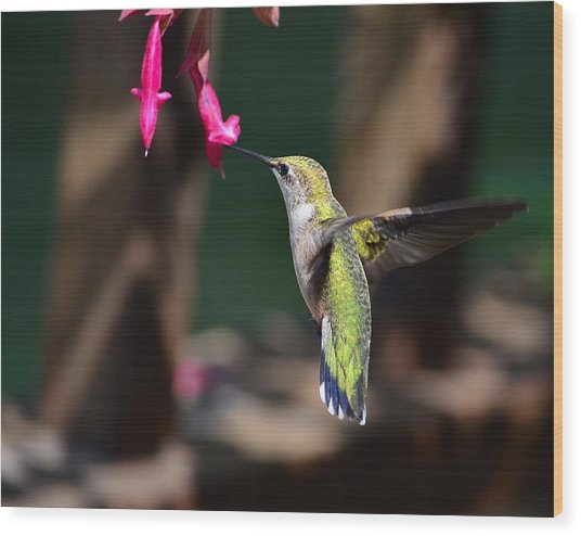 Ruby Throat Hummingbird Wood Print