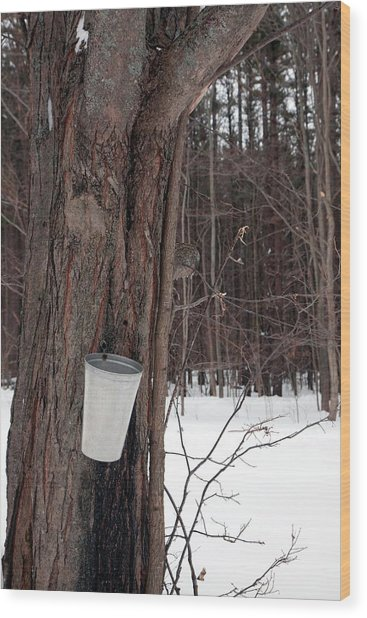 Sap Collection From Maple Tree Wood Print