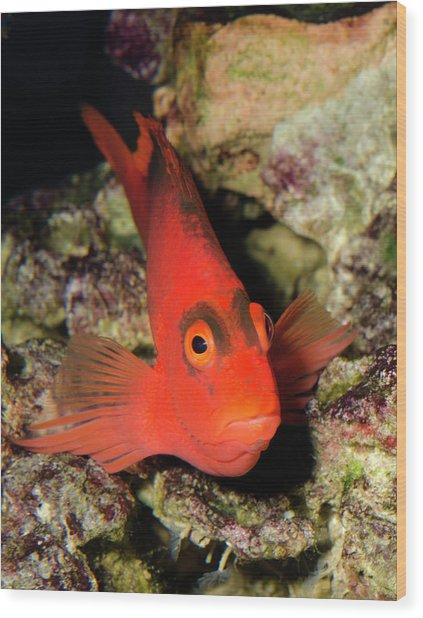 Scarlet Hawkfish Or Flame Hawkfish Wood Print by Nigel Downer
