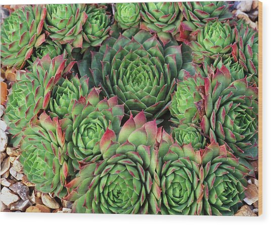 Sempervivum 'rubra Ray' Wood Print by Anthony Cooper/science Photo Library