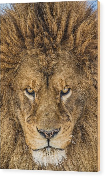 Serious Lion Wood Print by Mike Centioli