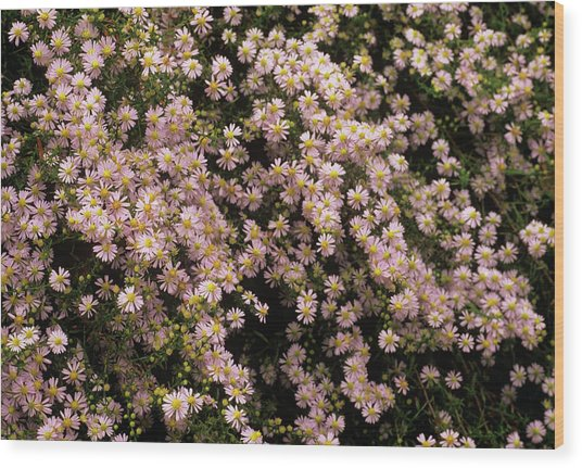 Sky Blue Aster Flowers Wood Print by Anthony Cooper/science Photo Library
