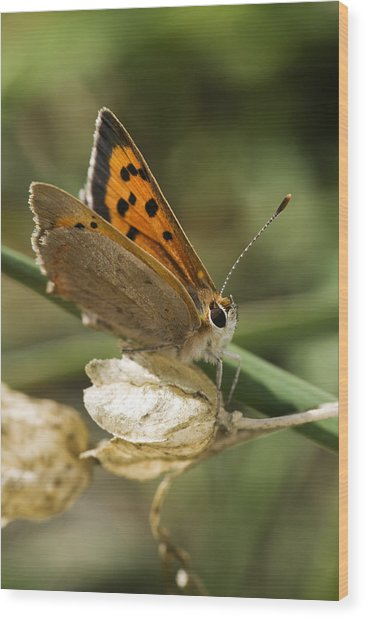 Small Copper Butterfly Wood Print