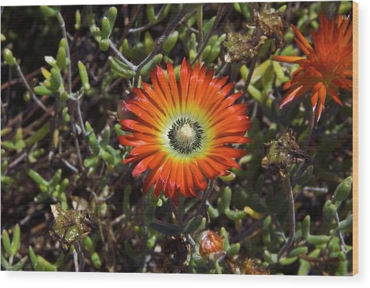 South African Flowers Wood Print by Dr P. Marazzi/science Photo Library