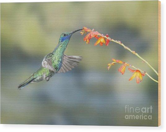 Sparkling Violet-ear Hummingbird Wood Print